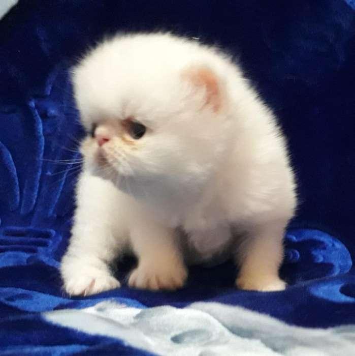 Hermoso Gatito Persa Extremo
