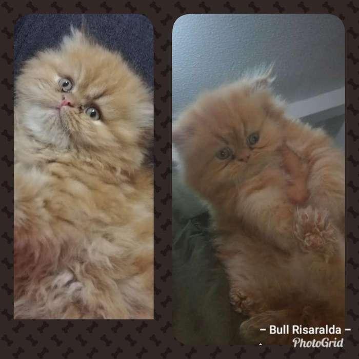 Gato Persa de 2 Meses