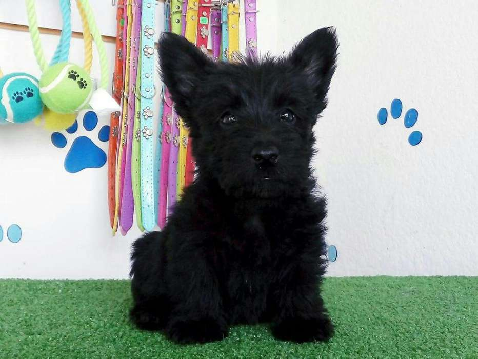 Scottish <strong>terrier</strong>