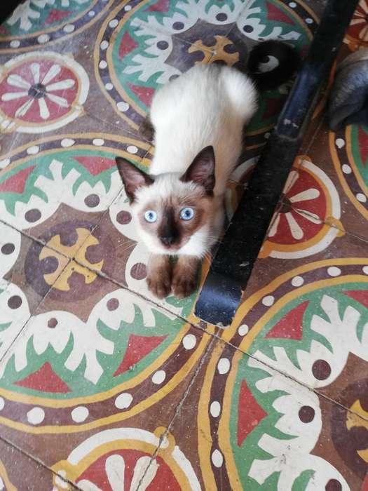 <strong>gato</strong>s Siameses Puro