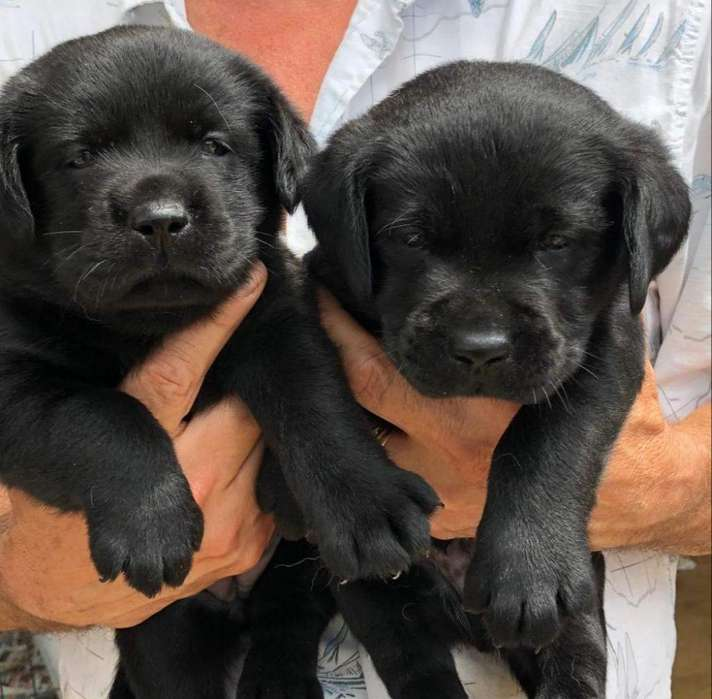 Cachorritos Labrador Retriever Negritos
