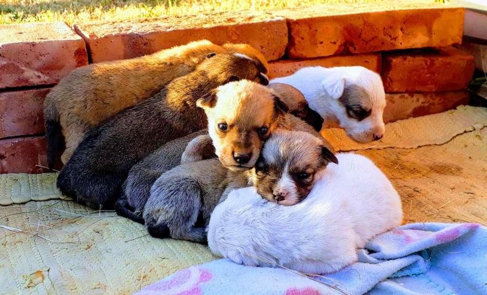 Adopción Responsable -Cachorros Mestizos