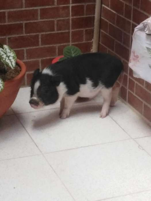 Venta de Un Mini Pig