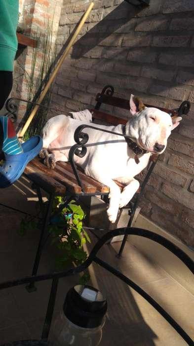 Busco Novia Bull Terrier