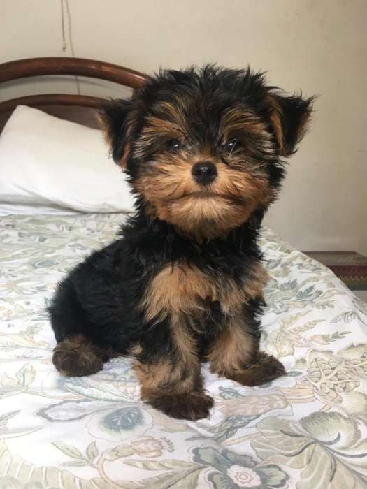 <strong>cachorro</strong>s Yorkshire Terrier