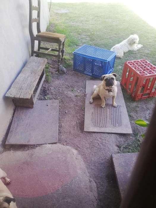Pug Carlino para Monta