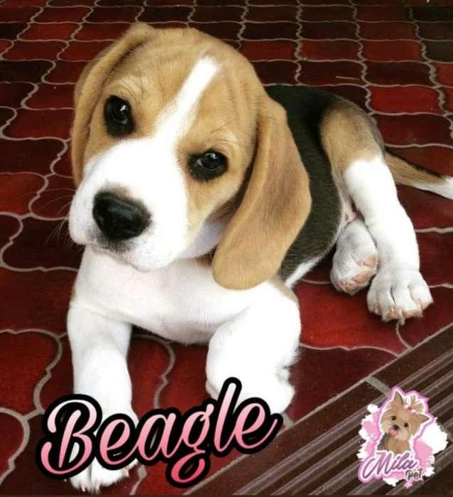 Beagle Tricolor Espectaculares