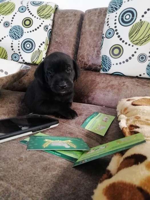 <strong>cachorro</strong> de Labrador Negro Disponible