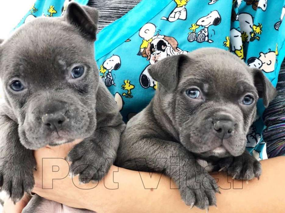 BONITOS CACHORROS PITBULL BLUE NOSE EN PET VITAL !!!
