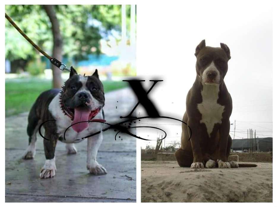 cachorros en venta fussion bully xamerican bully