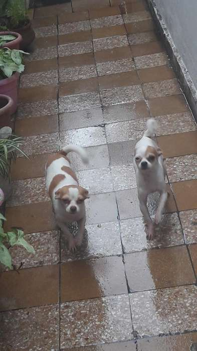 Vendo <strong>chihuahua</strong>s Urgente