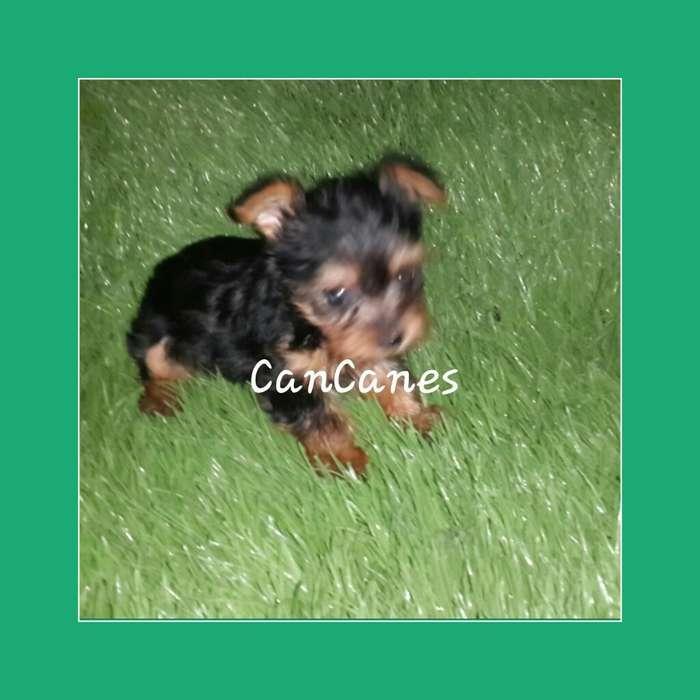 Magnificos Yorkys Terrier Mini en Venta