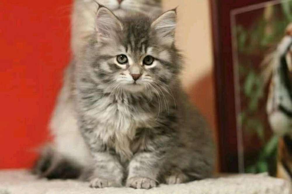 Cria de Gatitos Diferentes Razas