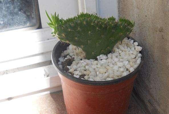 cactus opuntia subulata crestada maceta 10