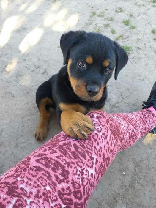 Cachorro Rodwailer
