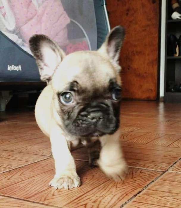 <strong>bulldog</strong> francs color fawn
