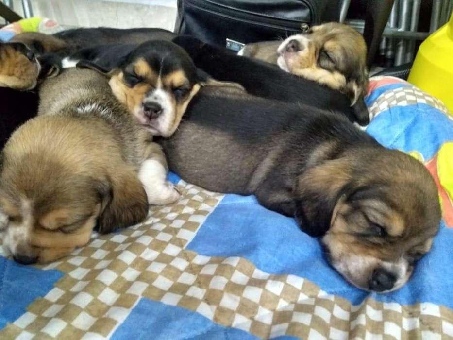 vendo lindos cachorros desparacitados y vacunados.