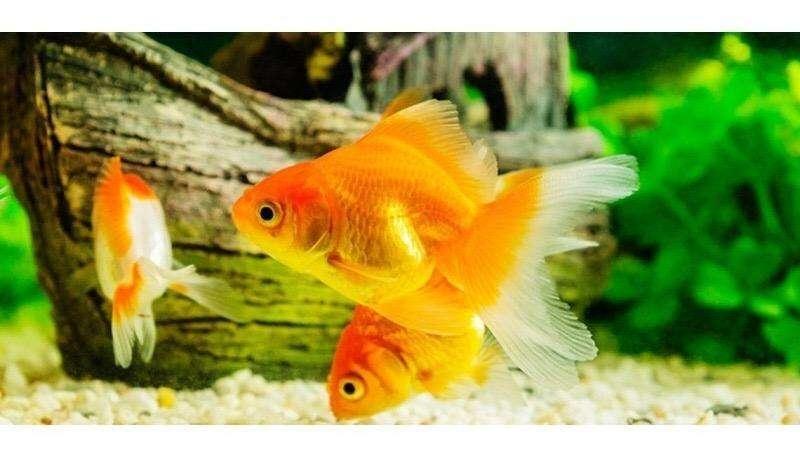 <strong>peces</strong> Bailarinas