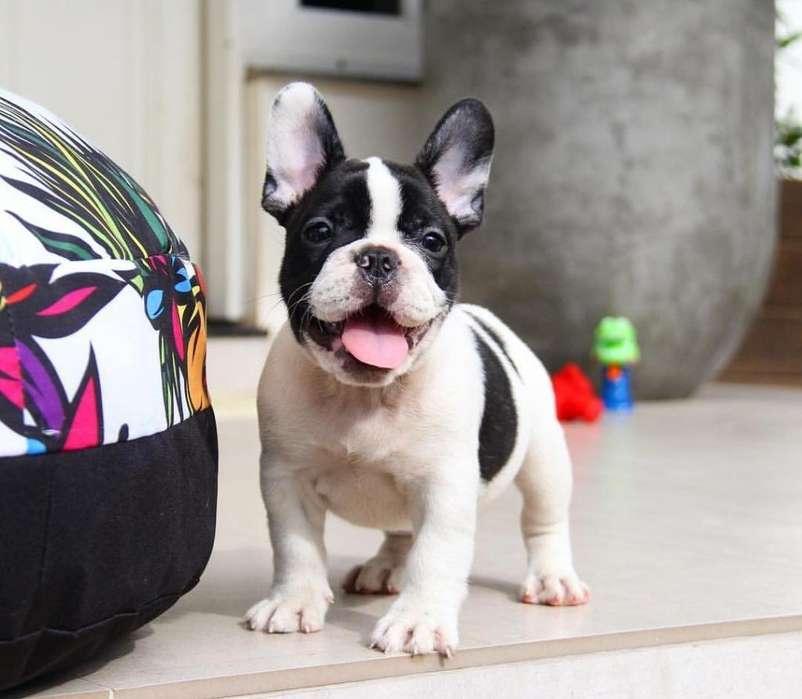 ¿Serias Capaz De Verlos Y No Amarlos? ¡Exclusivos! <strong>bulldog</strong> Frances. TU CACHORRO TIENDA Recibe Membresia Gratis