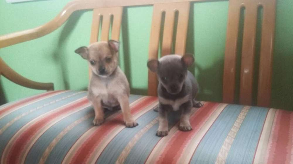 Vendo <strong>chihuahua</strong>s