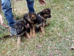 Disponibilidad de Cachorros Pastor Alemá