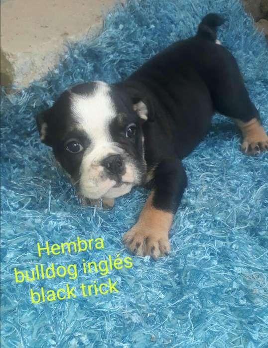 Vendo <strong>bulldog</strong> Ingles Black Trick Hembra
