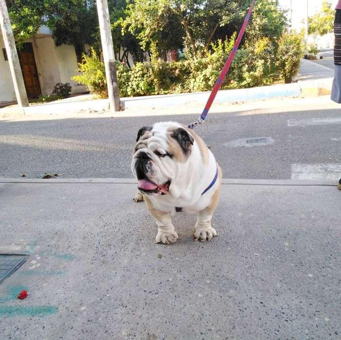 Servicio Monta Bulldog Ingles