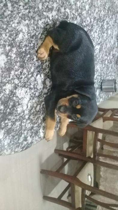 Hermos@s Rottweiler