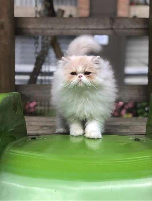 Lindo Gato de 1 Año
