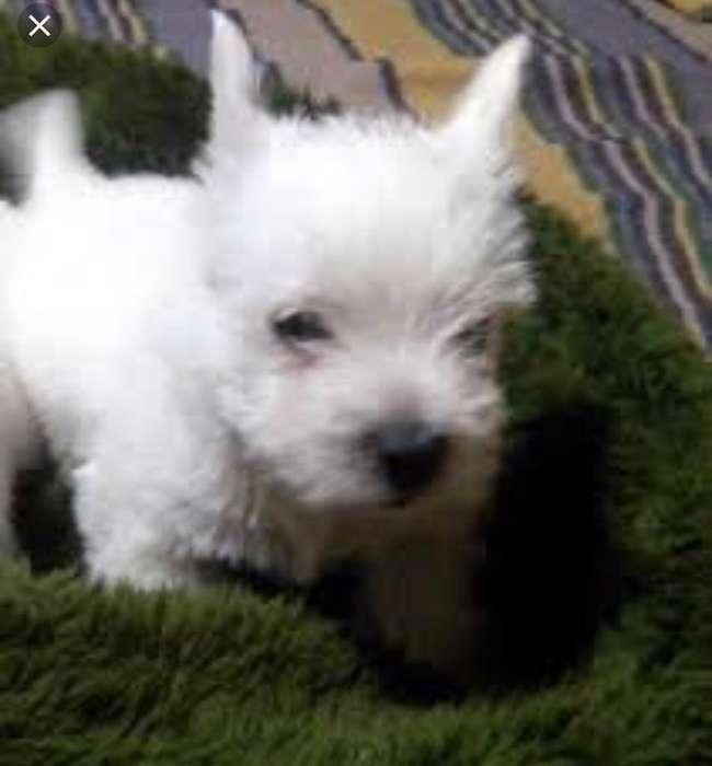 West Highland White Terrier Macho