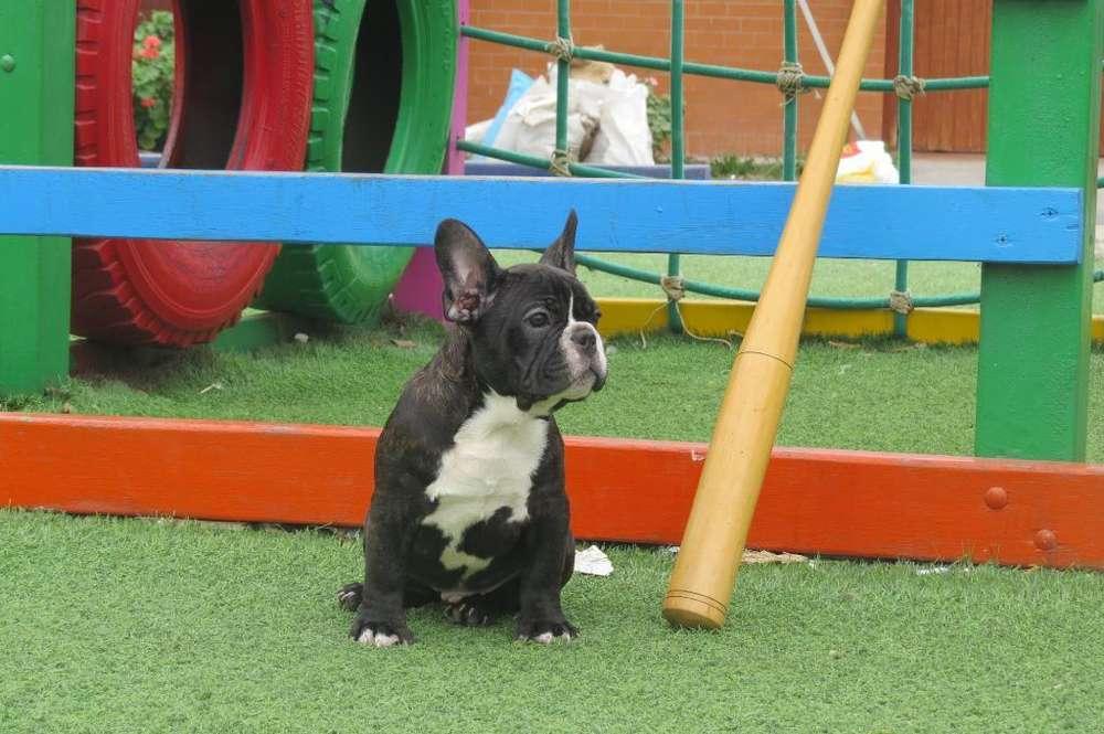Bulldog Frances Machito