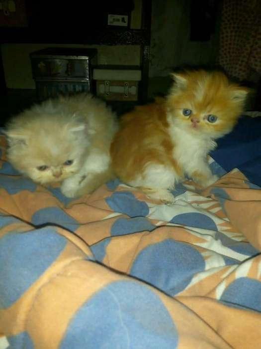 Gatitos bebes persas