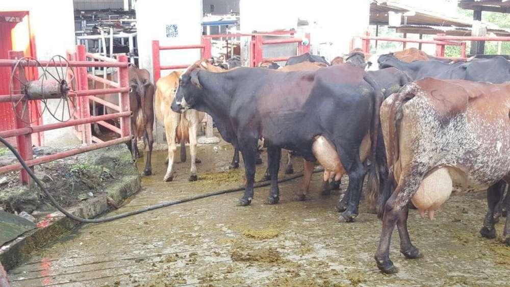 Venta de Vacas