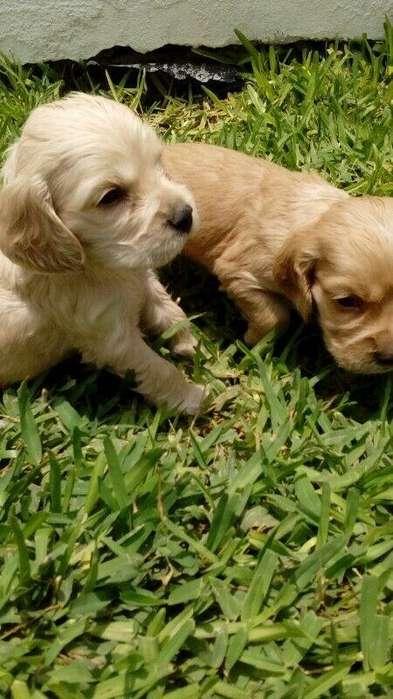 Cachorros Cocker Spaniel hembras y machos, desparasitados y vacunados Whatsapp 3212553098