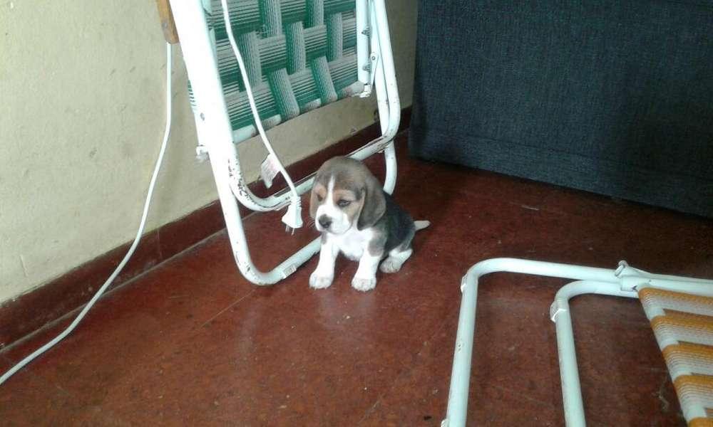 Perrito Beagle Puro
