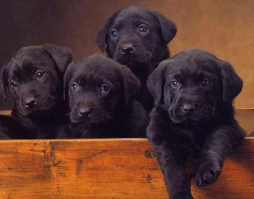 Ultimos Labradores