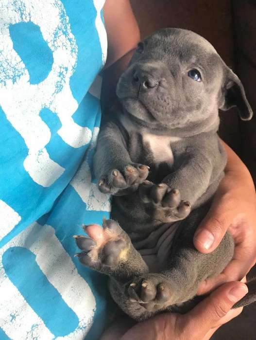 Cachorros Pitbull Blue Nose Disponibles