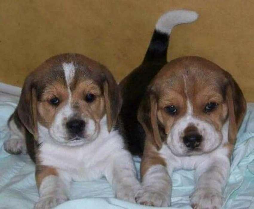 Beagles de Lujo Calidad Certificacion