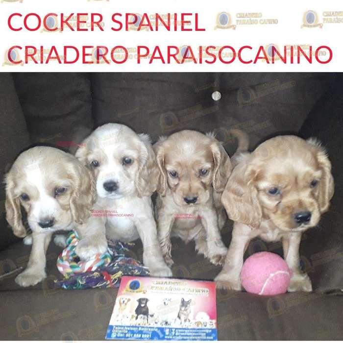 Cachorritos Cocker Spaniel