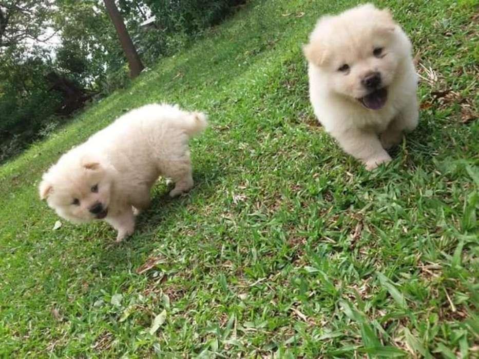 Lindos Cachorros Chow Chow de Alta Calid