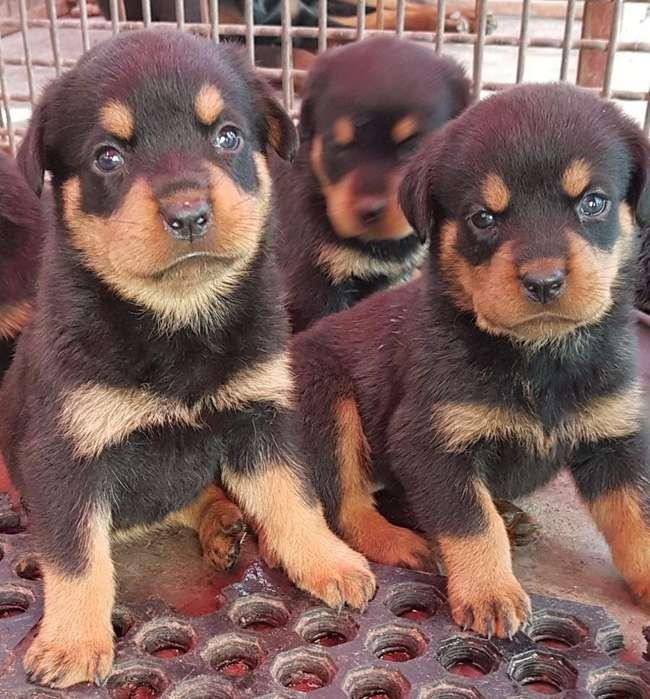 PORTENTOSOS ROTTWEILER <strong>cachorro</strong>S EN VENTA