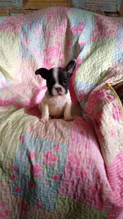 Hermosa Bebé de Bulldog Frances