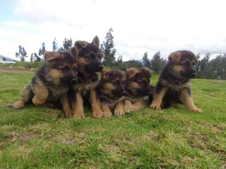 Vendo Cachorros Pastor Alemán