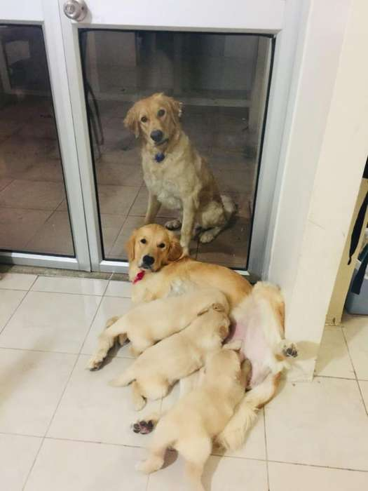 GOLDEN RETRIEVER 2 HEMBRAS GUAYAQUIL