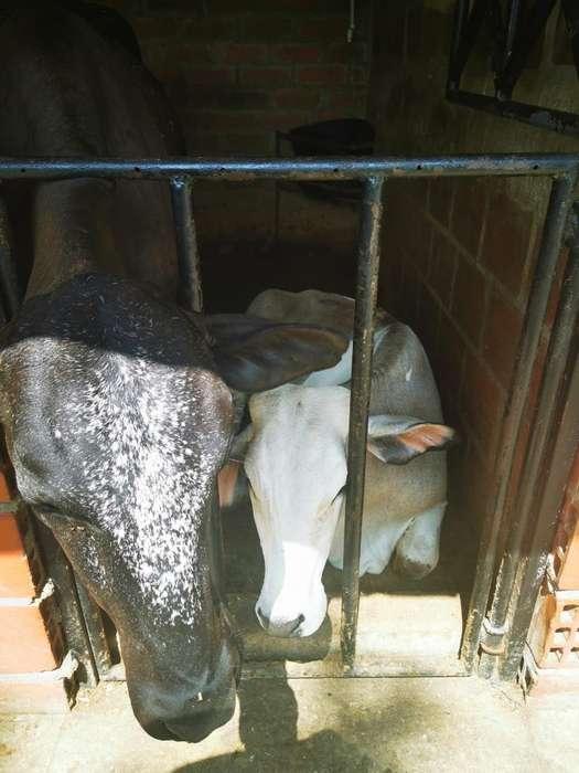 Se Venden Maravillosa Vacas