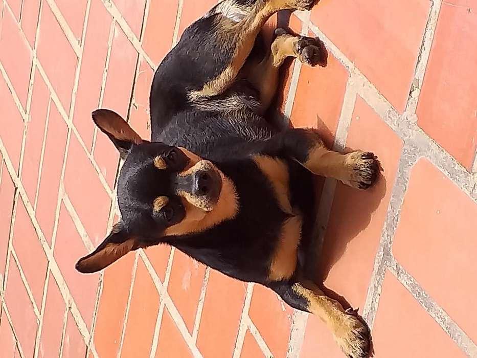 <strong>perro</strong> para monta pincher chihuahua