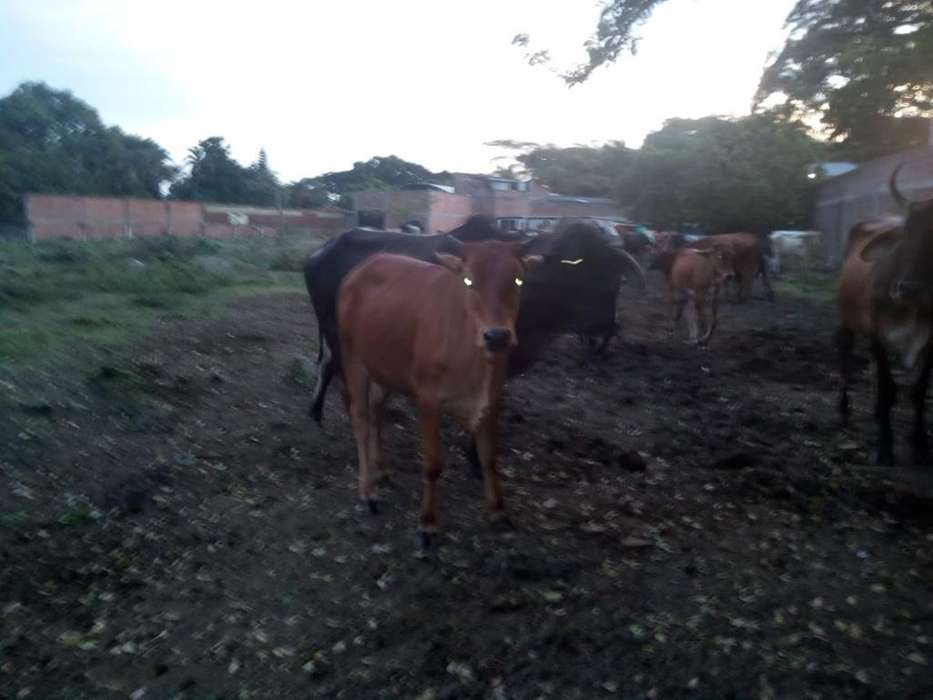 Terneras (os) Y <strong>vacas</strong>