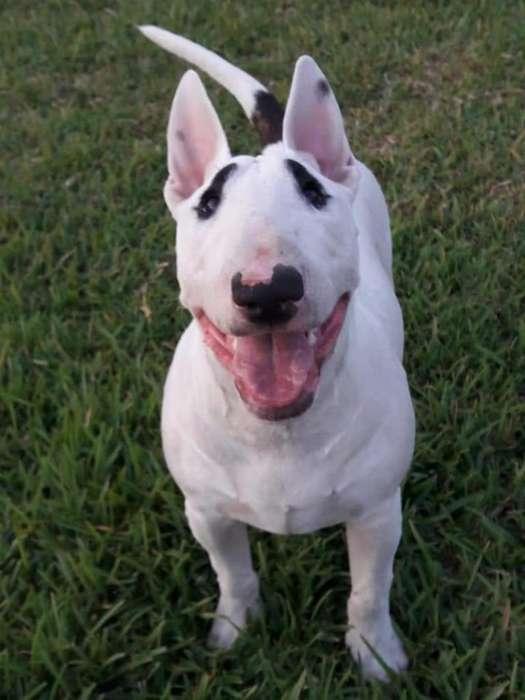 Servio de Monta Bull Terrier Ingles
