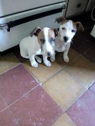 Vendo Jack Russell