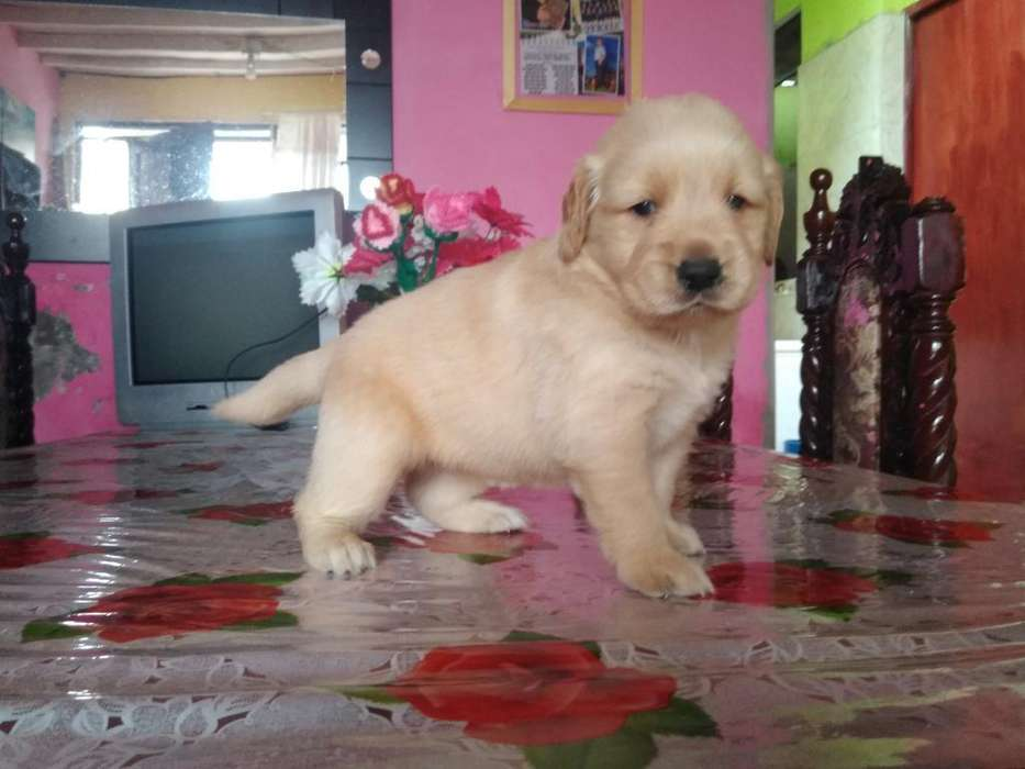 Ofresco Cachorra Golden Retriever Hembra
